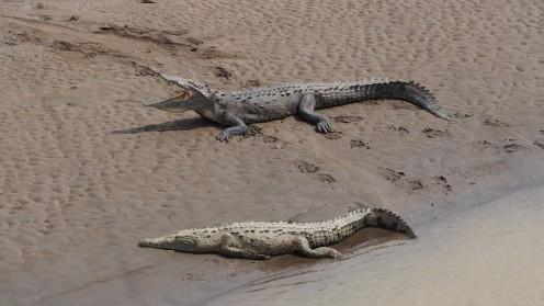 Gefräßige Krokodile