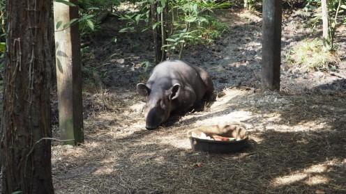 Schlafendes Tapir