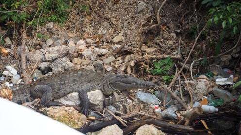 Krokodil im Canyon Sumidero