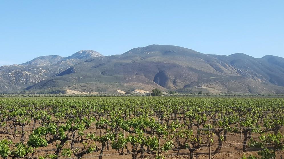 Weinfelder im Valle de Guadeloupe