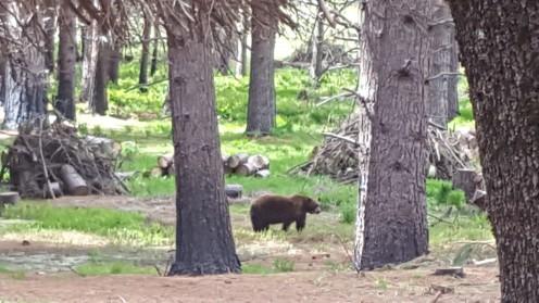Bär im Yosemite
