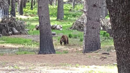 Braunbär im Yosemite