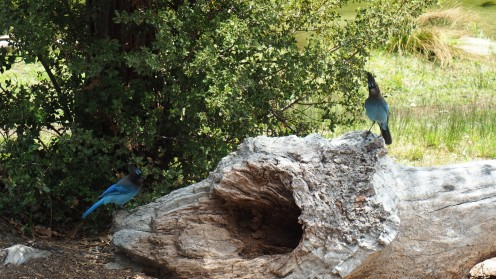 Blaue Vögel im Yosemite Nationalpark